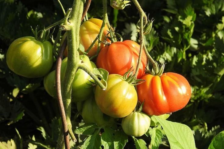 tomatoes-bush-vegetables-nachtschattengewächs